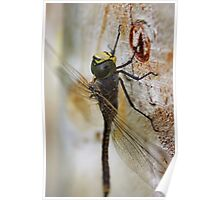 Dragonfly.. Poster