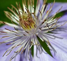 Clematis Jackmani by Jerome Petteys