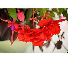 Begonias and Fuschia  Photographic Print