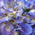 Hydrangeas  by Kashmere1646