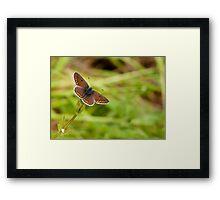 Brown Argus Framed Print