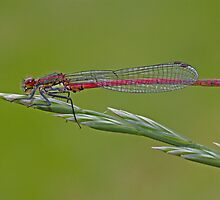 Small red damselfly by AngiNelson