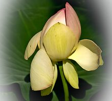 Lotus Light  by Nira Dabush