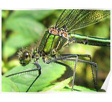 Damselfly (Calopteryx splendens - Female Banded Demoiselle) Poster
