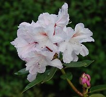 Rhododendron haematodes ssp. chaetomallum by justbmac