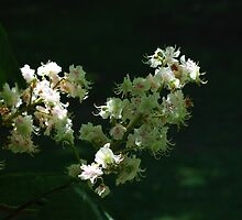 Aesculus hippocastanum image 3 by justbmac
