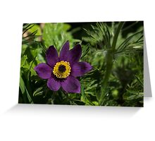 Deep Purple Easter Anemone Blossom Greeting Card
