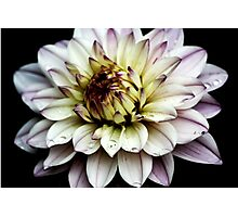 Water Lily Dahlia Photographic Print