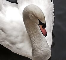 swan  by marxbrothers