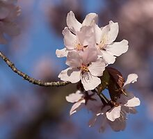 Pink Spring - Sunlit Blossoms and Blue Sky by Georgia Mizuleva