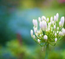 Viburnum Flower by Stevel