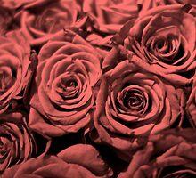 Red Roses by Stevel