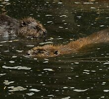 Bavarian beaver by Grandalf