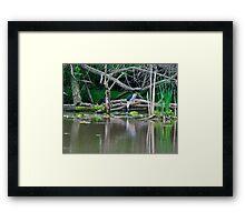 Black-Crowned Heron Framed Print