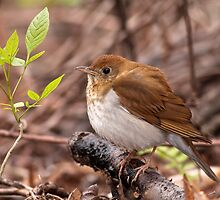 A Veery Close Encounter by Gary Fairhead