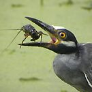 Yellow Crowned Night Heron by venny