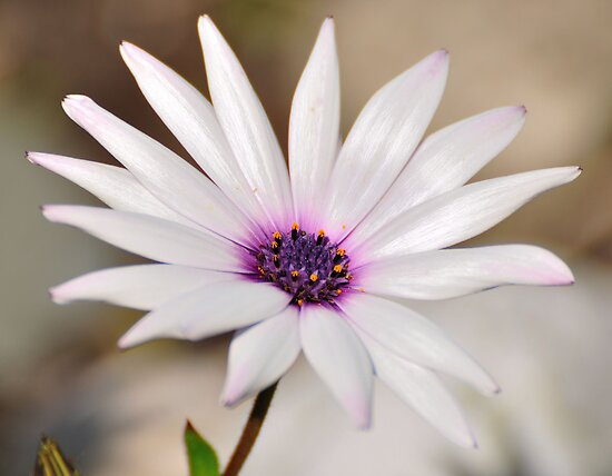 South African Daisy by Paul  Eden