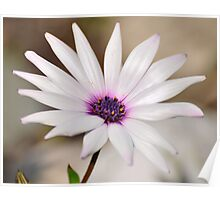 South African Daisy Poster