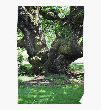 Cherry Tree, Owens Rose Garden, Eugene, Oregon Poster