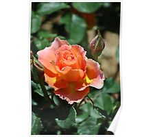 Peach and Yellow Ruffled Rose Poster