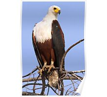 Majestic African Fish Eagle Poster