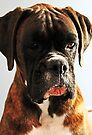 I'm sorry... won't do it again  -Boxer Dogs Series- by Evita