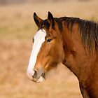 Clydesdale Portrait by Stephen Stephen