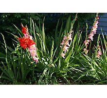 Glads in front yard Photographic Print