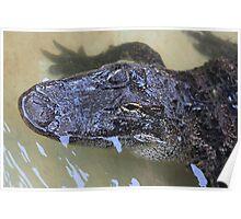 Gator Poster