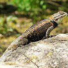 Desert Spiny Lizard ~ Male  by Kimberly Chadwick