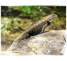 Desert Spiny Lizard ~ Male  Poster