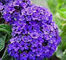 ~ Purple Heliotrope ~ by Brenda Boisvert