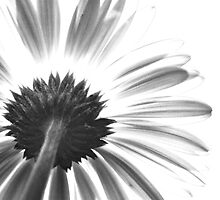 Traces of a Daisy by Annette Carr