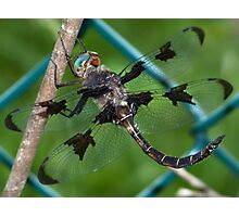 A male Prince Baskettail dragonfly. Photographic Print