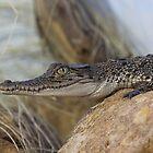 Saltwater Crocodile by Steve Bullock
