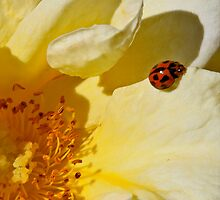 Little Ladybug by Heather Walker