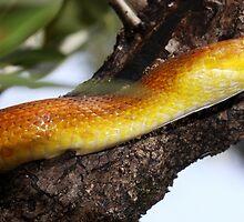 Everglades Rat Snake by coralhead