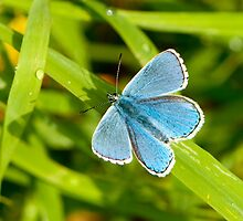 Adonis Blue by Durotriges