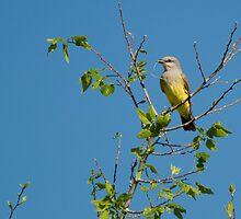 Western Kingbird by Eivor Kuchta