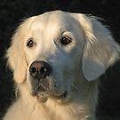 Portrait of my Golden Retriever Ditte by Trine