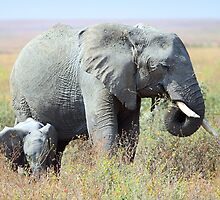 Close Together - Elephants, Serengeti, Tanzania.  by Carole-Anne