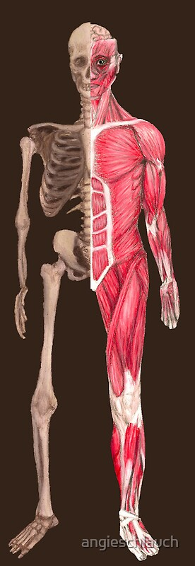the muscoskeletal system Organs of skeletal system and their functions the skeletal system in human is a major connective tissue system that is made up of organs, such as bones.