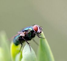 The Fly sequel  by Jean Poulton