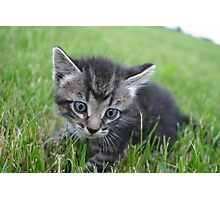 Siberian Kitten in the grass outside on farm Photographic Print