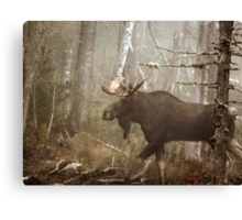 Maine Bull Moose During Mating Season... Canvas Print