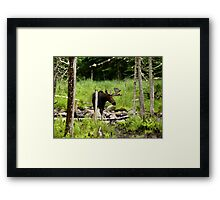 Bull Moose In Western Maine Framed Print