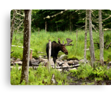 Bull Moose In Western Maine Canvas Print