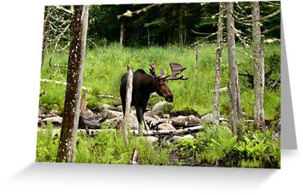 Bull Moose In Western Maine by mooselandtours