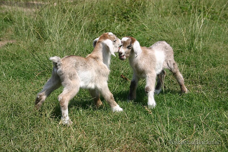 """""""Baby Goat Play"""" by RebeccaBlackman 