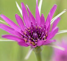 Salsify by Geoff Carpenter